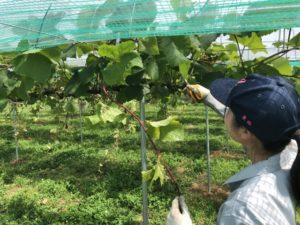 【 園芸科 果樹コース 】ブドウの維持管理およびモモの本摘果・袋掛け実習