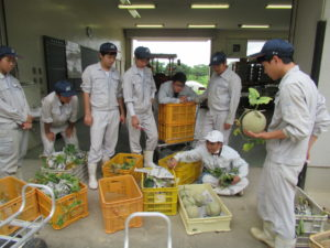 農業経営科野菜コース3年生がネットメロンを収穫しました。