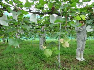 園芸科果樹コースの3年生がブドウの袋かけをしました。