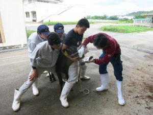子牛の鼻紋を採るため生徒らが子牛を固定しています。