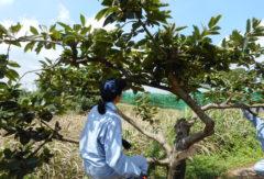 【果樹コース】 カキの摘果と徒長枝のせん定