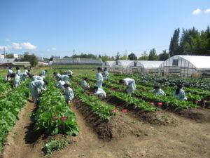 園芸科1年生が科目「農業と環境」でダイコンとハクサイの栽培管理を学びました。