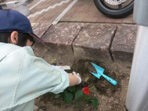 加西市の花「サルビア」も定植しました。